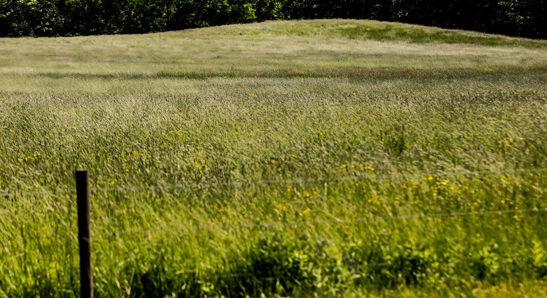 Close up view of a rolling green grassy meadow