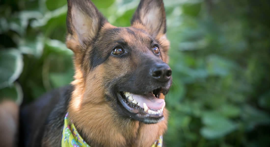 Close up view of a brown and black German shepherd with his mouth open